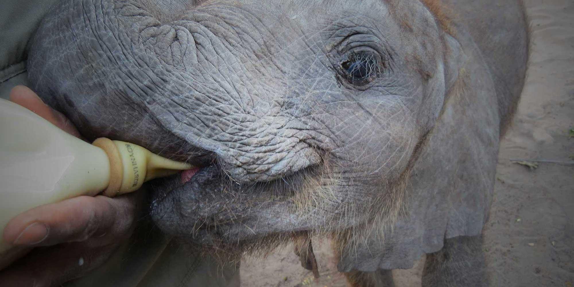 Elephant Havens Handler feeds and Baby Elephant